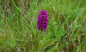 Geflecktes Knabenkraut (Orchis maculata)