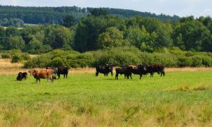 Taurus-Rinder im NSG Panzbruch bei Greimerath