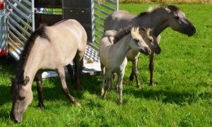 Freilassung der Konik-Pferde im NSG Panzbruch bei Greimerath