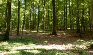 Hainsimsen-Buchenwald in Schleswig-Holstein