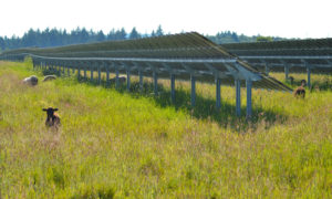 Schafbeweidung in Photovoltaik Freiflächenanlage